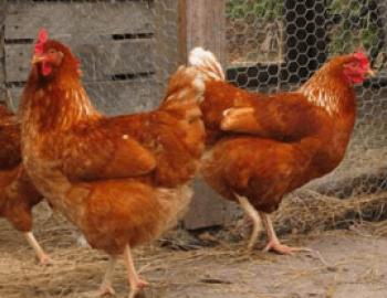 Panduan Lengkap Ternak Ayam Petelur yang Mudah Bagi Pemula