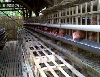 Ukuran Ideal Kandang Ayam Petelur Modern dan Cara Membuatnya