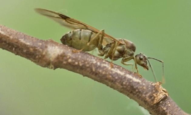 contoh semut ratu