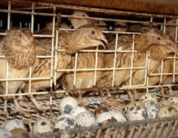 Burung puyuh petelur