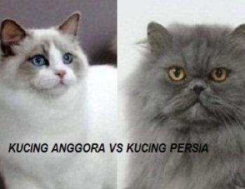 kucing anggora vs kucing persia