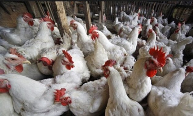 stress pada ayam