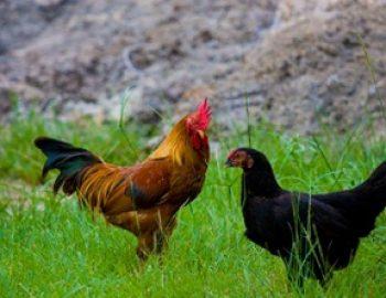 pembibitan ayam kampung