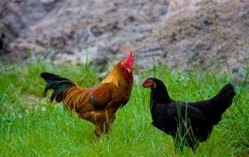 Rahasia Sukses Usaha Pembibitan Ayam Kampung Secara Modern Belajar Beternak