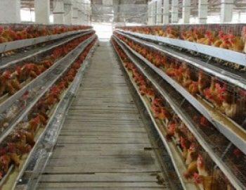 Kelebihan dan Kekurangan Kandang Baterai Untuk Ayam Petelur yang Wajib Kita Ketahui
