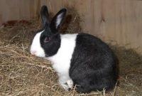 ternak kelinci lokal