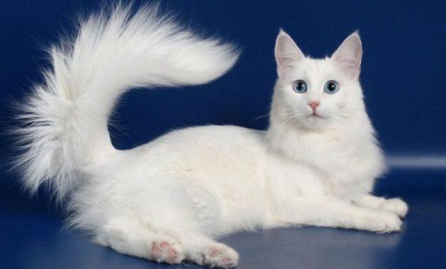 ternak kucing anggora