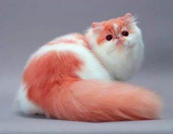 ternakkucing persia