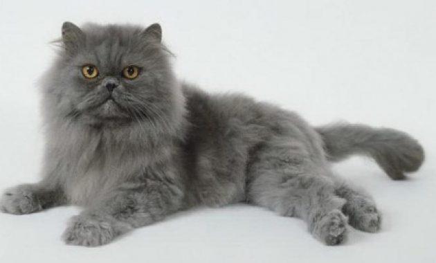 ternak kucing persia