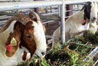 kambing boer, cara ternak kambing