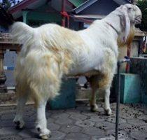 ternak kambing ettawa super
