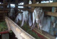 kandang kambing ettawa