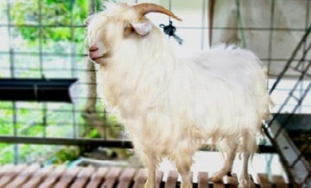 jenis kambing gembrong