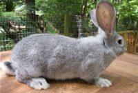 ciri-ciri kelinci flemist giant