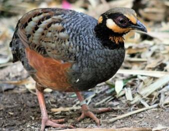Burung Puyuh Hutan Mari Kita Mengenal Habitat Makanan Dan Ciri