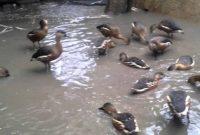 ternak burung belibis