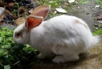 kelinci mencret