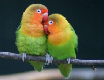 Pemula Ayo Merapat, Inilah Trik Paling Mudah Ternak Lovebird dan Dijamin Berhasil