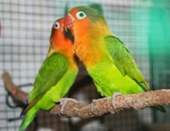 Cara Paling Jitu Mengatasi Lovebird Turun Tangkringan