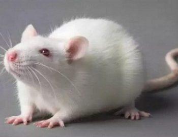 cara merawat tikus putih