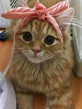 gambar kucing anggora lucu