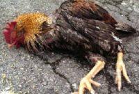 penyebab ayam kanibal
