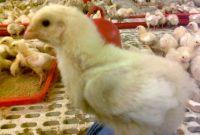 bibit ayam potong