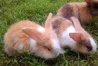 merawat kelinci anggora