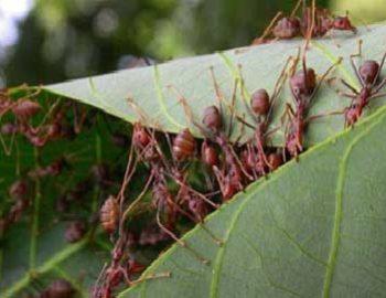 menambah koloni semut rangrang