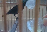 cara menjinakkan kolibri