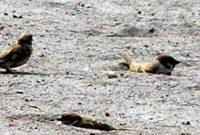 mandi pasir untuk kacer