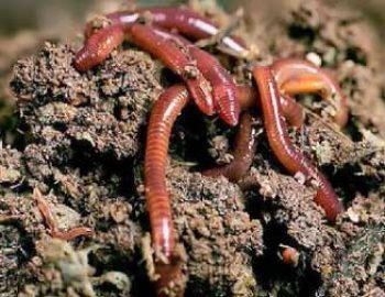 Hasil gambar untuk ternak cacing tanah