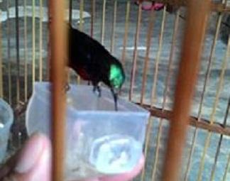 mengajari kolibri makan kroto