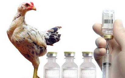 memberikan vaksin pada ayam