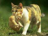 induk kucing memindah anaknya