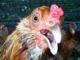 penyakit ayam ngorok