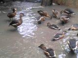 burung belibis