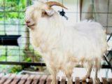 kambing gembrong