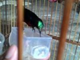 kolibri makan kroto