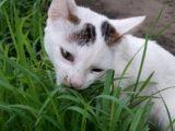 kucing makan rumput