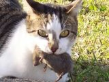kucing makan tikus