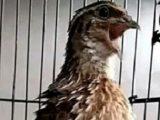 burung puyuh yang dilombakan